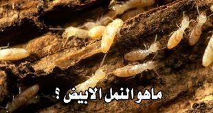 صورة ما هو النمل الابيض , النمل الابيض و ملكه النمل