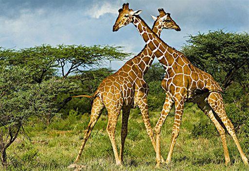 صور اسم ذكر الزرافة , اغرب الاسماء من الحيوانات وهو ذكر الزرافه