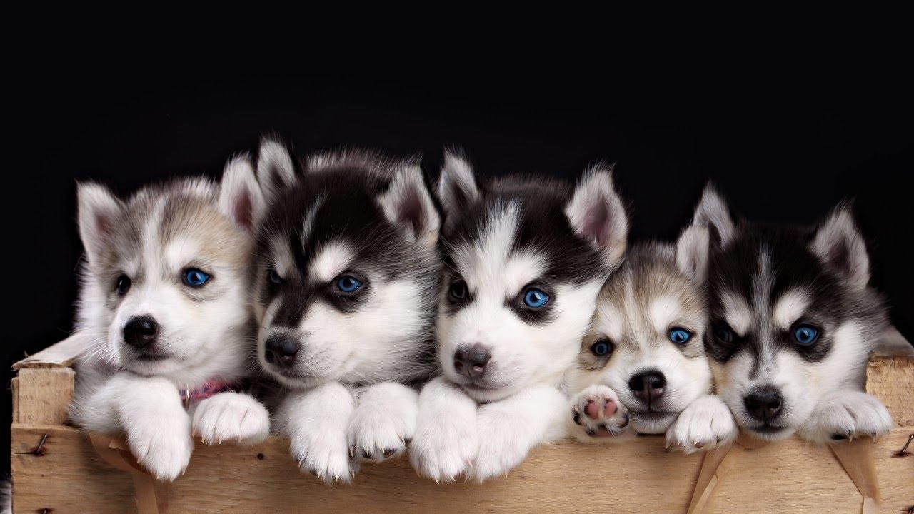 صورة معلومات عن كلاب الهاسكي , ما لم تعرفه عن الكلاب الهاكسى