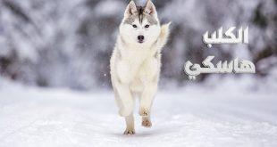 صور معلومات عن كلاب الهاسكي , ما لم تعرفه عن الكلاب الهاكسى
