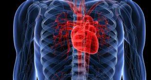 صورة اين يقع القلب , موقع القلب داخل الجسم