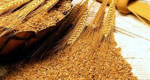 صورة معلومات عن القمح , فوائد حبوب القمح والمواد الغني بها