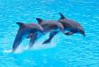 صور معلومات عن الدولفين , اجمل واحلا الحيوانات