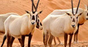 صورة بحث عن المها العربي , اجمل الحيوانات