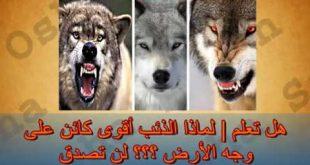 بالصور هل الذئب ياكل الجن , خوف الجن من الذئاب 111 2 310x165