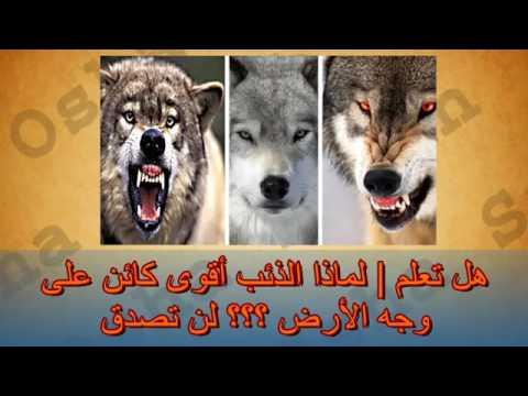 بالصور هل الذئب ياكل الجن , خوف الجن من الذئاب 111