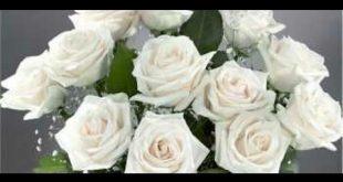 بالصور معنى الوردة البيضاء , اروع المعانى الرقيقة ومفهوم الوردة البيضاء 124 2 310x165