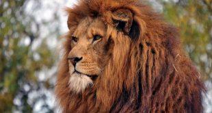 صور قصة شعر الاسد , قصه شعر على اسم الحيوان