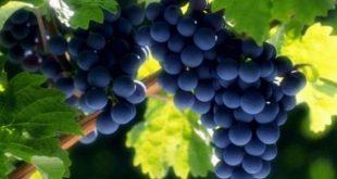 بالصور فوائد واضرار العنب , القيمه الغذائيه للعنب واضراره 2136 3 310x165