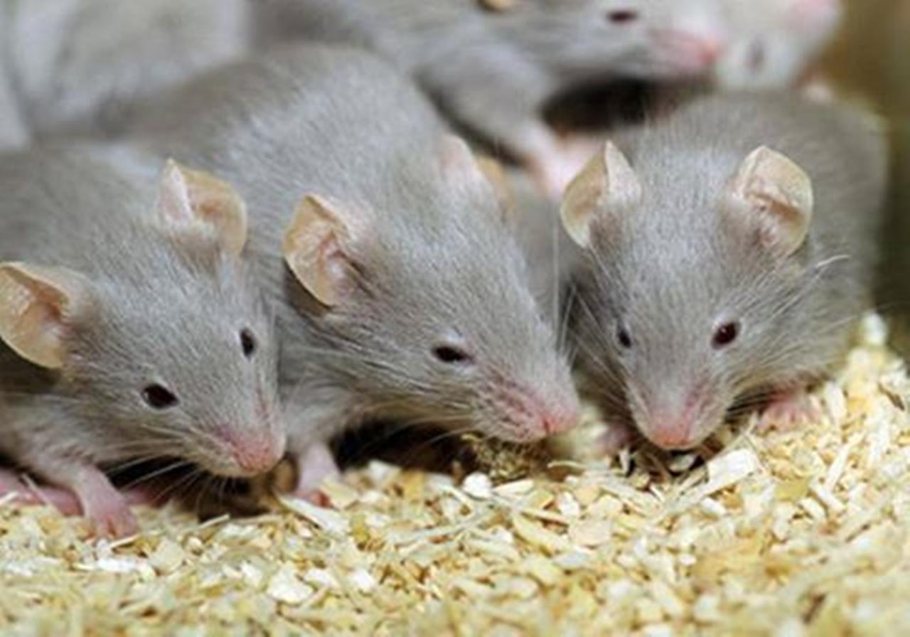صور تفسير رؤية الفئران في الحلم , الفار ورؤيته فى المنام