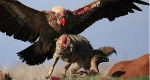 صور معلومات عن طائر النسر , 8 اسرار عن عالم النسور