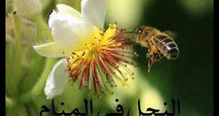 صور تفسير حلم النحل للحامل , معنى لسعه النحلة للحامل