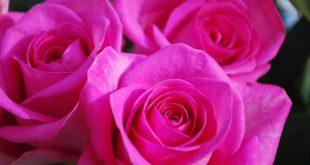 صورة صور خلفيات ورد , اروع خلفيات لعشاق الورد 2020