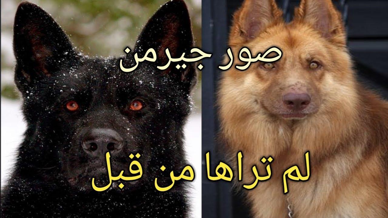 صور صور الكلاب الجرمن , اشرس واطيب انواع الكلاب الجيرمن