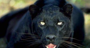 صور صور حيوانات مفترسه , صور جديده ونادره لحيوانات مفترسه