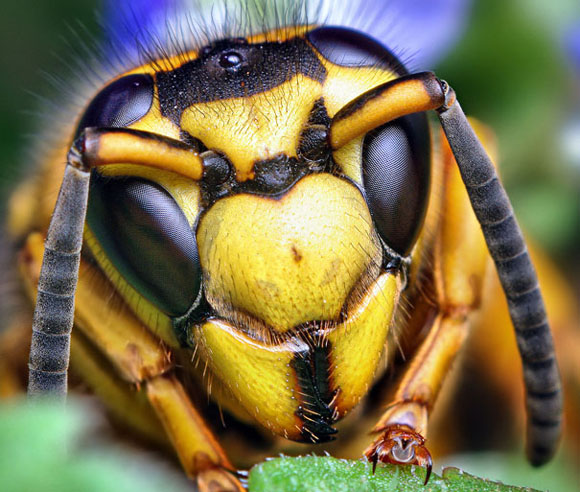 صورة كم عين للنحله , عجايب خلق الله فى هذا المخلوق الضئيل